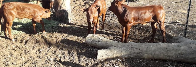 Buy cattle and calves online