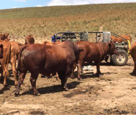 Where to order Bulls and heifers