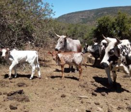Where to order cattle and calves