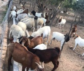Boer and Kalahari goats Price