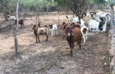Boer and Kalahari goats South Africa