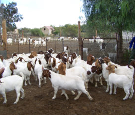 Where can i buy Boer and Kalahari goats