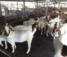 Boer and Kalahari goats for sale near me
