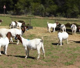 Boer & Kalahari goats for sale in South Africa
