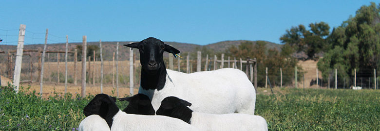 Dorper and Merino sheep for sale