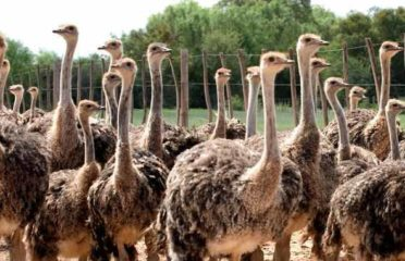 Black Neck Ostrich and fertile eggs for sale